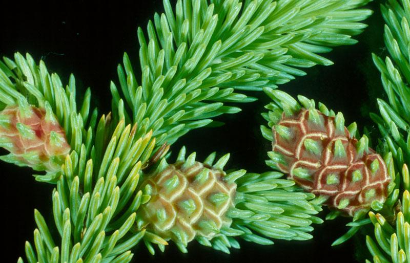 Adelges abietis (Linnaeus)