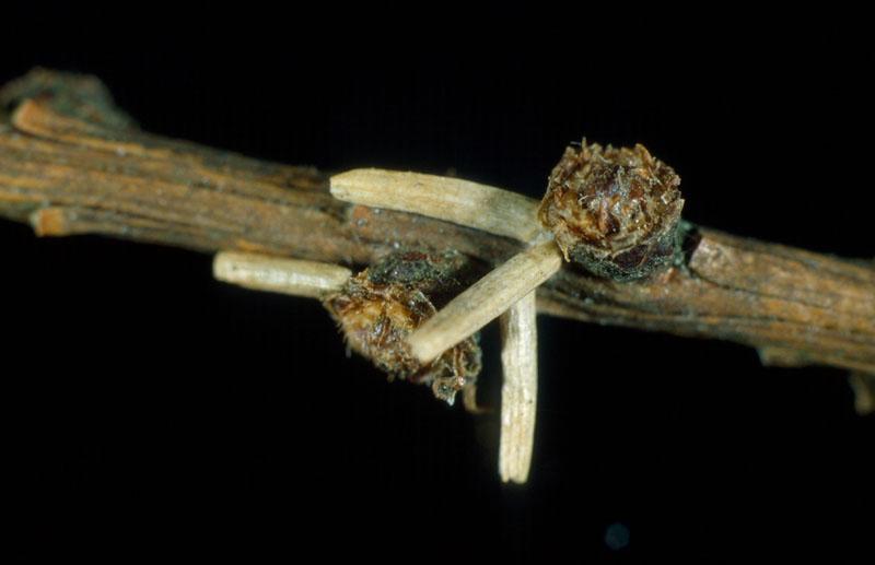 Coleophora laricella (Hubner)