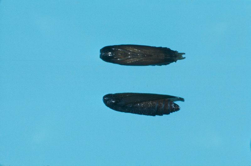 Coleophora serratella (Linnaeus)
