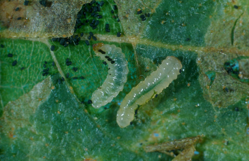 Fenusa pusilla (Lepeletier)