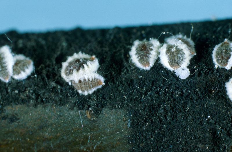Cryptococcus fagisuga Lindinger