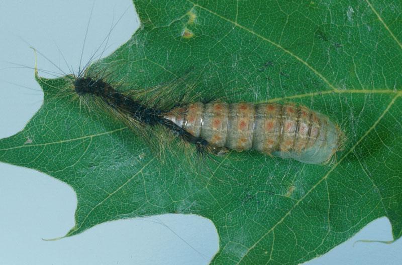 Lymantria dispar (Linnaeus)