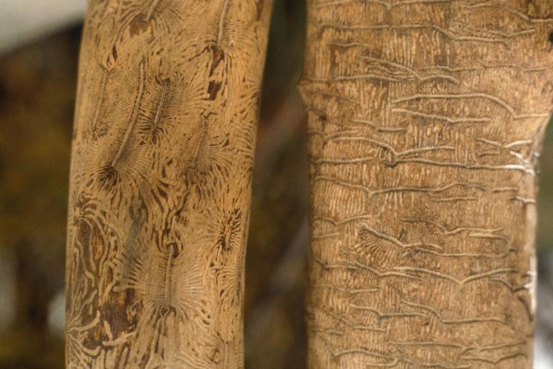 Scolytus multistriatus (Marsham)