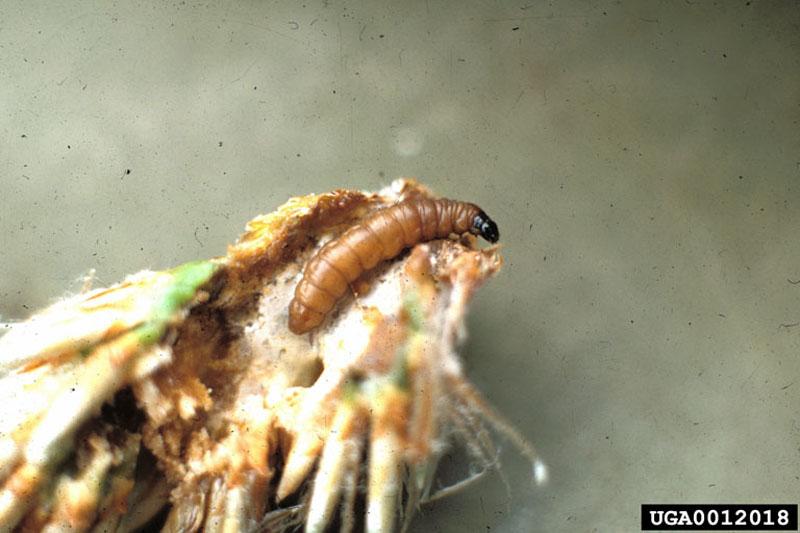 Rhyacionia buoliana (Denis and Schiffermuller)