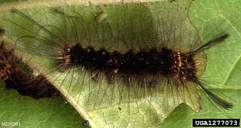 Lymantria mathura Moore