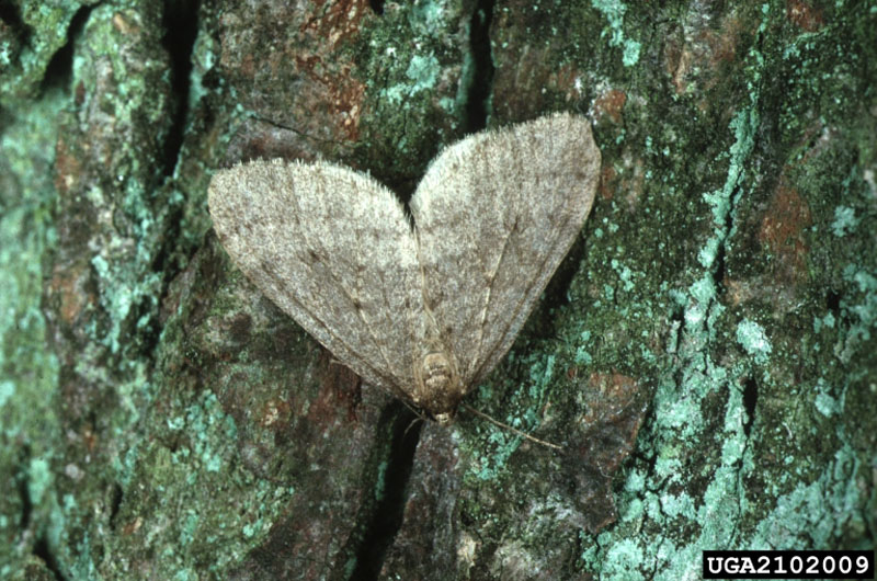 Operophtera brumata (L.)