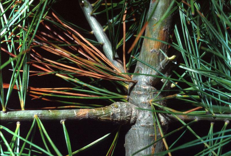 Cronartium ribicola