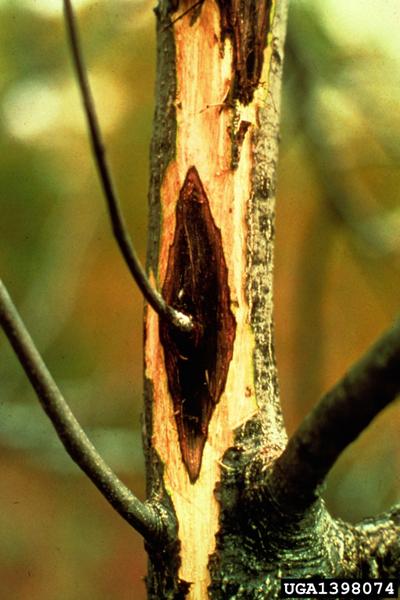 Ophiognomonia clavigignenti-juglandacearum (N.B. Nair, Kostichka & J.E. Kuntze) Broders & Boland